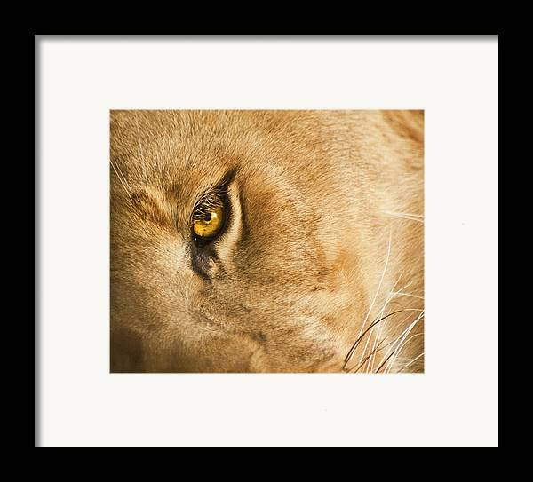 Lion Framed Print featuring the photograph Your Lion Eye by Carolyn Marshall