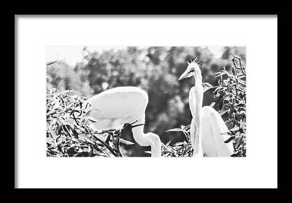 Egrets Framed Print featuring the photograph You're Not Listening To Me by Curtis Tilleraas