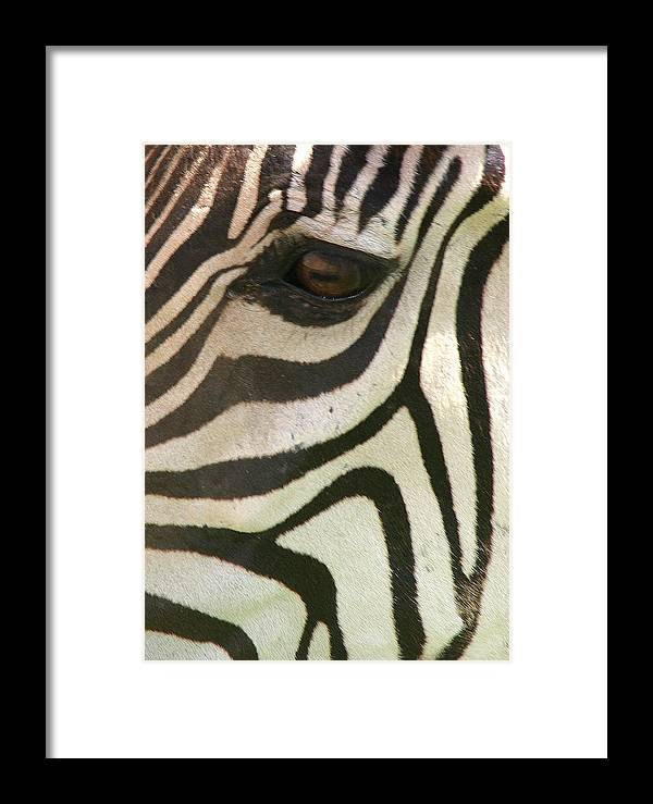 Zebra Framed Print featuring the photograph Z-eye by Donald Tusa