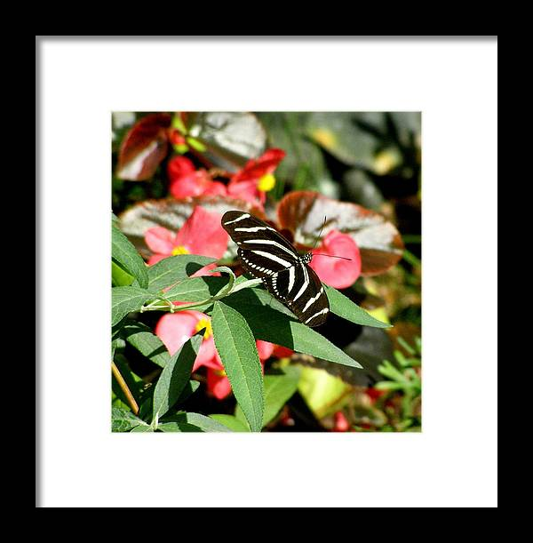 Butterfly Framed Print featuring the photograph Zebra Butterfly by Jeanette Oberholtzer