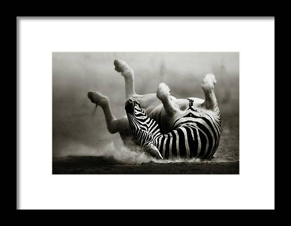 Zebra Framed Print featuring the photograph Zebra Rolling by Johan Swanepoel