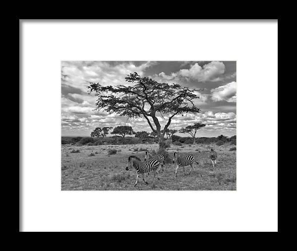 Zebra Framed Print featuring the photograph Zebra Running Through Savannah by Marc Holcroft