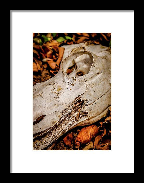 Kenya Framed Print featuring the photograph Zebra Skull by Sarah M Taylor