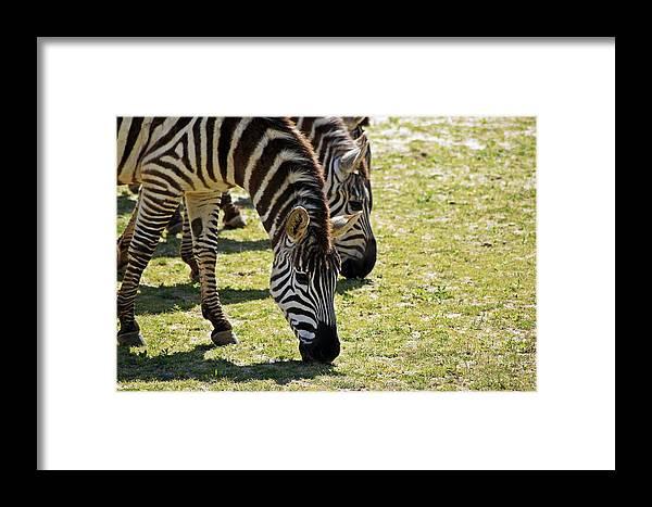 Zebra Framed Print featuring the photograph Zebras by Joann Mitchell