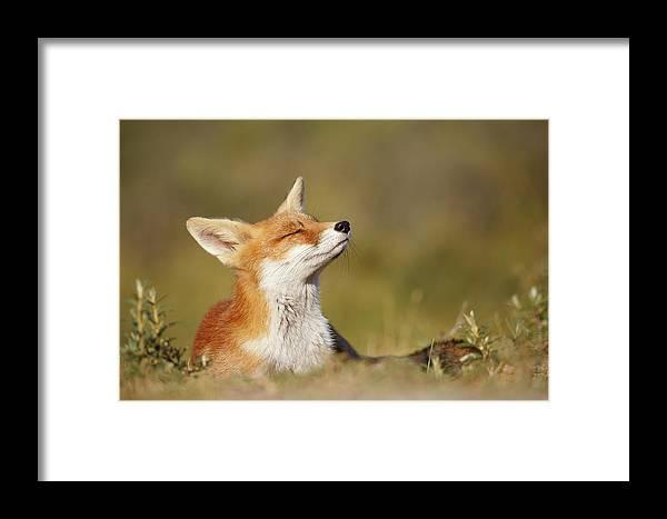 Red Fox Framed Print featuring the photograph Zen Fox Series - Summer Fox by Roeselien Raimond