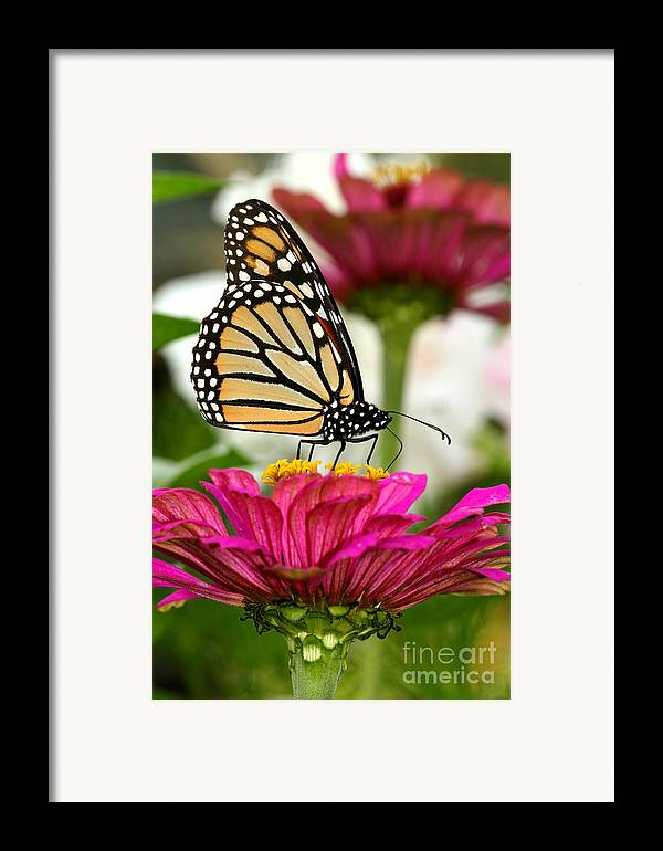 Monarch Framed Print featuring the photograph Zinnia Rose And Monarch by Steve Augustin