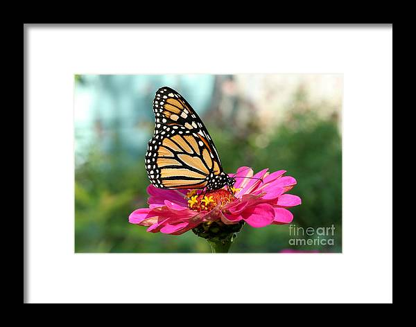 Monarch Butterfly Framed Print featuring the photograph Zinnia With The Monarch by Steve Augustin
