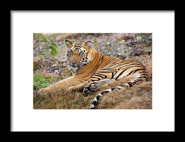 Looking Over Shoulder Framed Print featuring the photograph An Adult Tiger In Bandhavgarh National by Mint Images - Art Wolfe