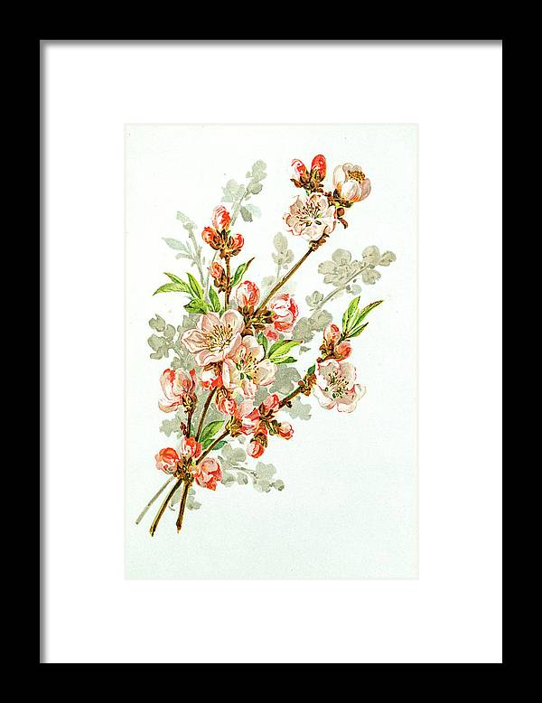Cherry Framed Print featuring the digital art Apple Blossom 19 Century Illustration by Mashuk