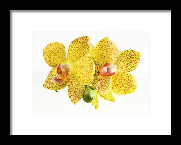 Thank You Framed Print featuring the photograph Beautiful Yellow Orchid On White by Digihelion