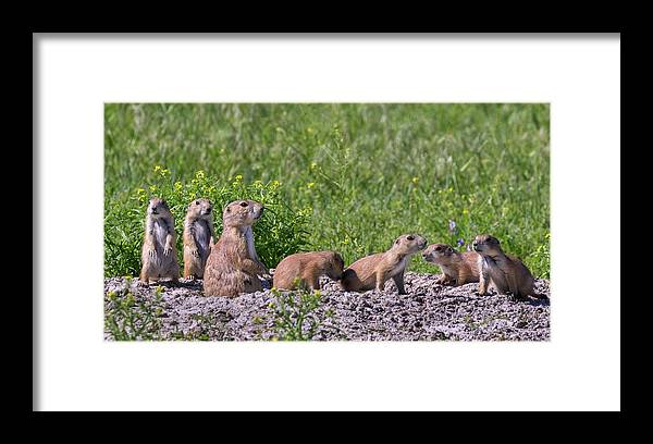 Adult And Young Framed Print featuring the photograph Black-tailed Prairie Dog Family At Den by Ivan Kuzmin