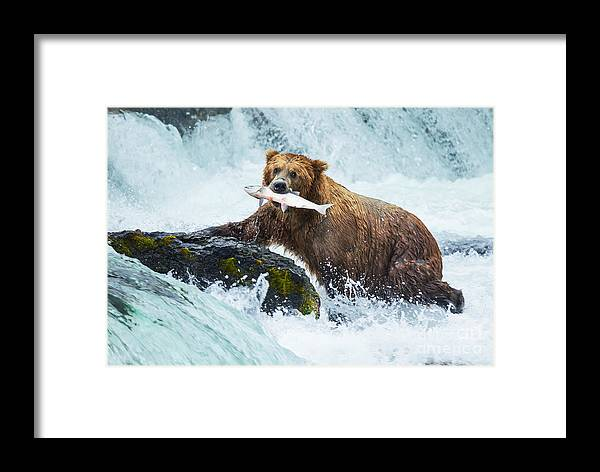 Grizzly Framed Print featuring the photograph Brown Bear On Alaska 1 by Galyna Andrushko
