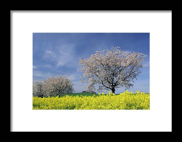 Outdoors Framed Print featuring the photograph Cherry Tree In Blossom by Cornelia Doerr