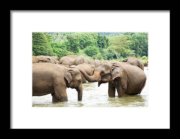 Animals In The Wild Framed Print featuring the photograph Elephants In River by Lp7