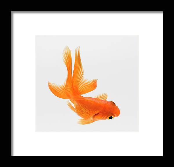Pets Framed Print featuring the photograph Fantail Goldfish Carassius Auratus by Don Farrall