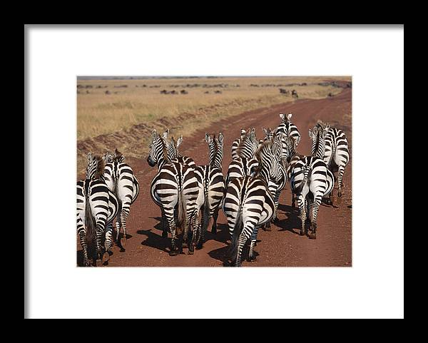 Plains Zebra Framed Print featuring the photograph Grant Zebra by Imagenavi