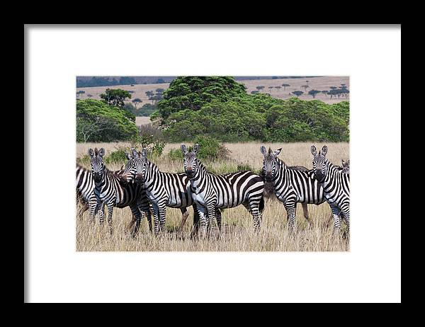 Scenics Framed Print featuring the photograph Grants Zebras, Kenya by Mint Images/ Art Wolfe