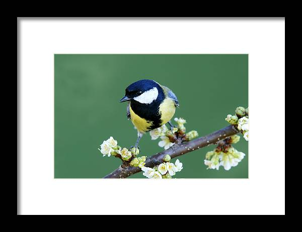 Songbird Framed Print featuring the photograph Great Tit On A Blossoming Twig by Schnuddel