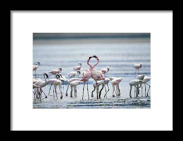 Tanzania Framed Print featuring the photograph Lesser Flamingoes Phoeniconaias Minor by Paul Souders