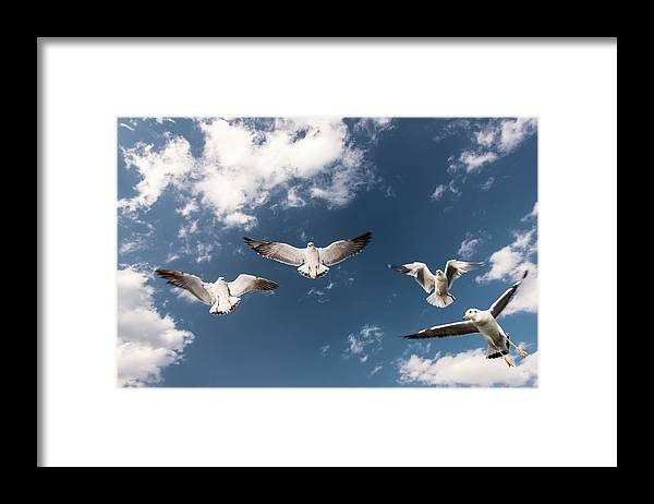 Animal Themes Framed Print featuring the photograph Myanmar, Inle Lake, Seagulls Inflight by Martin Puddy
