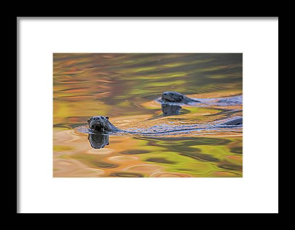 Ottercollection Framed Print featuring the photograph North American River Otter Two Swimming, Maine, Usa by George Sanker / Naturepl.com