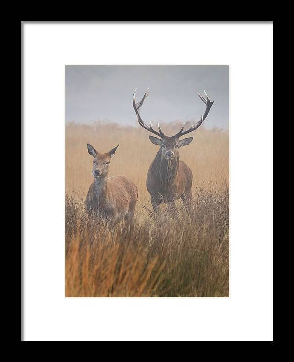 Red Deer Stag And Hind Framed Print By Tim King Photography