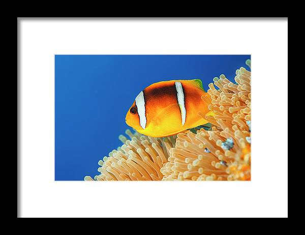 Underwater Framed Print featuring the photograph Sea Life - Anemone Clownfish by Ultramarinfoto