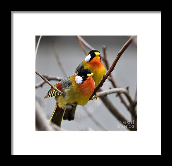 Love Framed Print featuring the photograph Silver-eared Mesia by Wang Liqiang