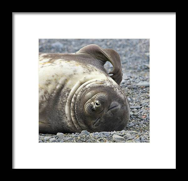 South Georgia Island Framed Print featuring the photograph Southern Elephant Seal Weaner Pup by Eastcott Momatiuk