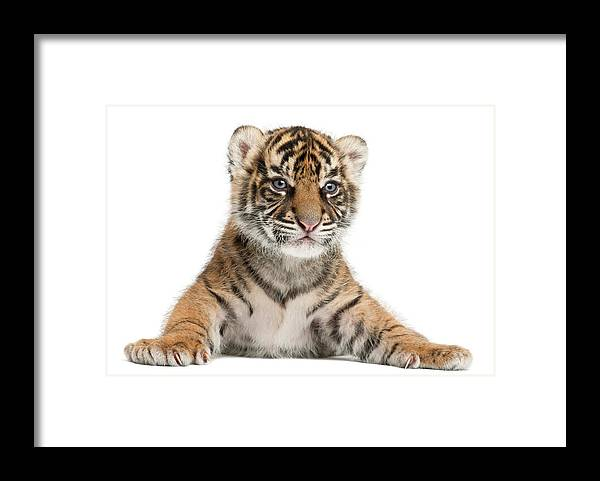 White Background Framed Print featuring the photograph Sumatran Tiger Cub - Panthera Tigris by Life On White