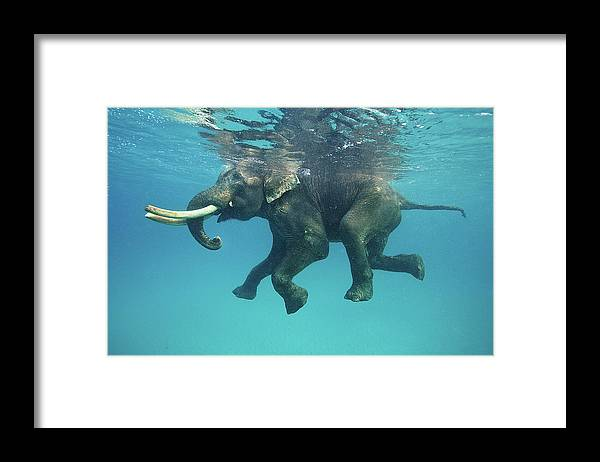 Underwater Framed Print featuring the photograph Swimming Elephant by Mike Korostelev Www.mkorostelev.com