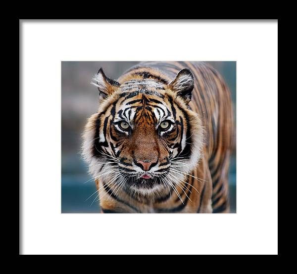 Snow Framed Print featuring the photograph Tiger by Freder