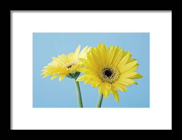 Two Objects Framed Print featuring the photograph Yellow Flowers On Blue Background by Kristin Lee