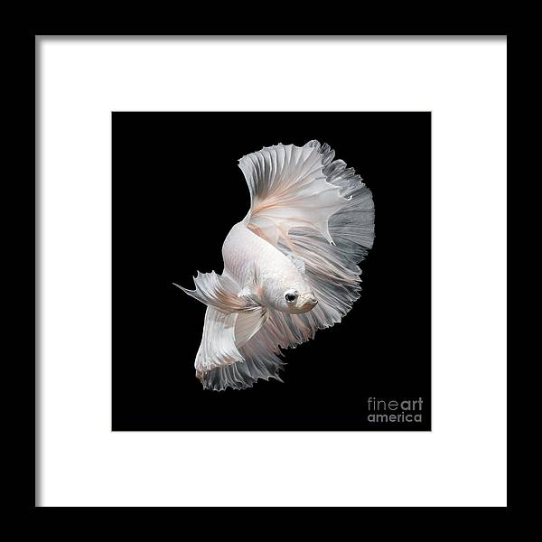 Fancy Framed Print featuring the photograph Betta Fish,siamese Fighting Fish In by Nuamfolio