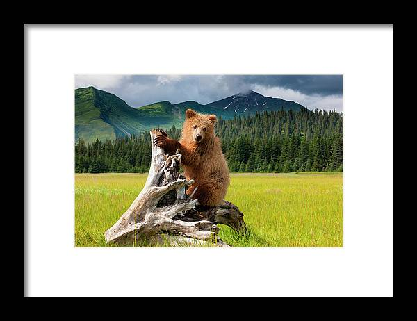 Brown Bear Framed Print featuring the photograph Brown Bear, Lake Clark National Park by Mint Images/ Art Wolfe