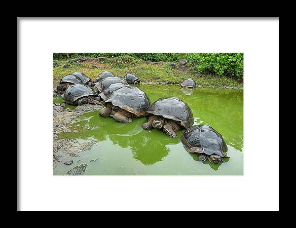 Animal Framed Print featuring the photograph Creep Of Indefatigable Island Tortoises by Tui De Roy