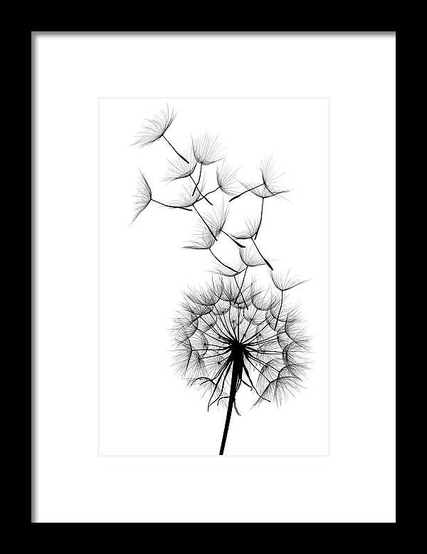 Wind Framed Print featuring the photograph Dandelion by Sunnybeach