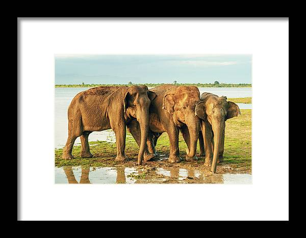 Elephant Framed Print featuring the photograph Elephants - Three Best Friends 2 by Max Blumenthal