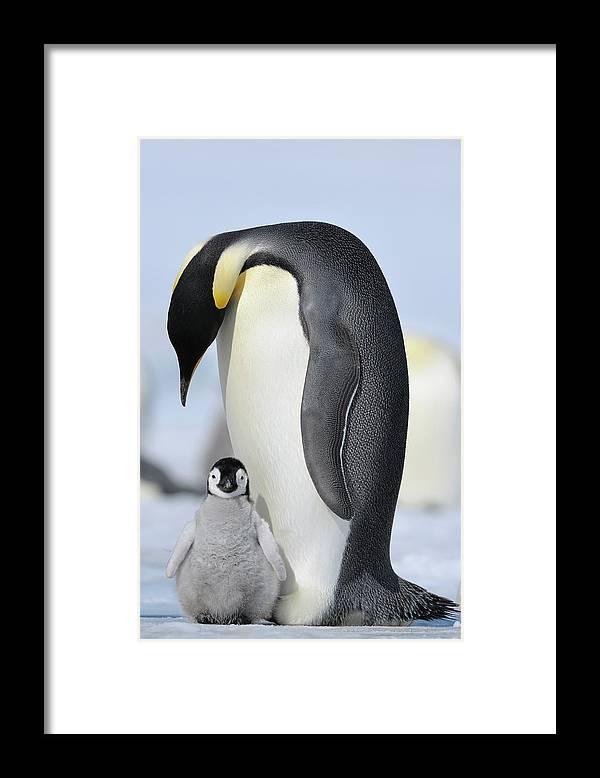 Emperor Penguin Framed Print featuring the photograph Emperor Penguin by Raimund Linke