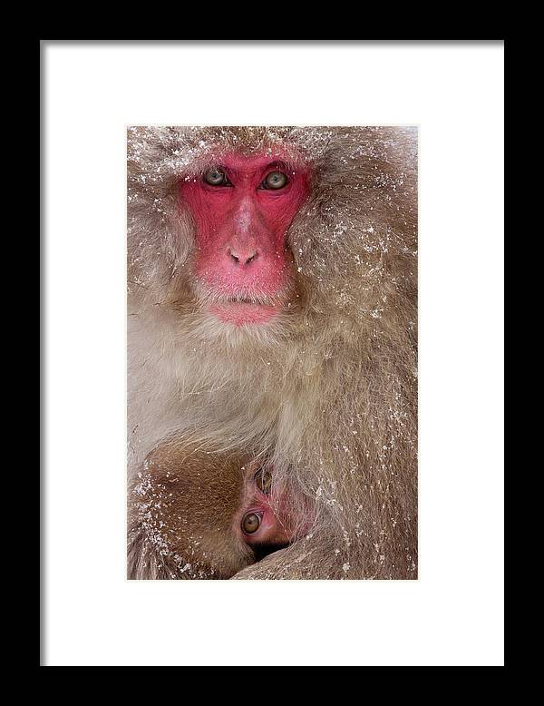 Vertebrate Framed Print featuring the photograph Japanese Macaques, Japanese Alps by Mint Images/ Art Wolfe