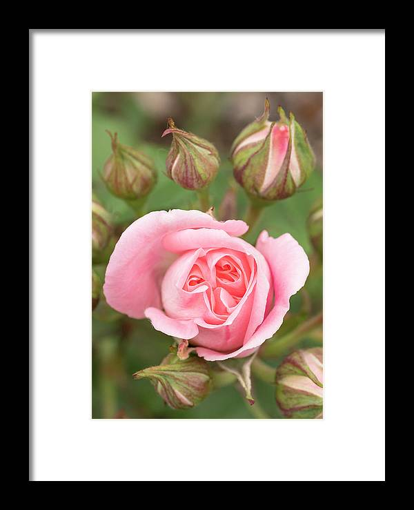 Bloom Framed Print featuring the photograph Pink Rose, International Rose Test by William Sutton