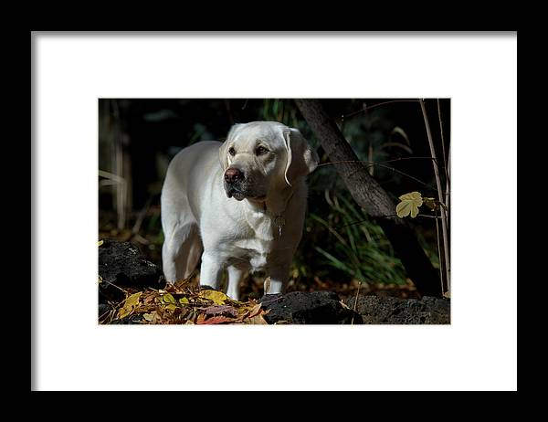 Animal Framed Print featuring the photograph Yellow Labrador Retriever by William Mullins