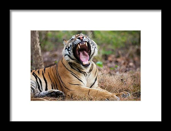 Snarling Framed Print featuring the photograph An Adult Tiger In Bandhavgarh National by Mint Images - Art Wolfe