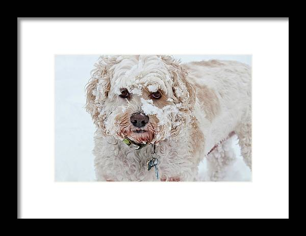 Animal Framed Print featuring the photograph Cockapoo In Snow by William Mullins