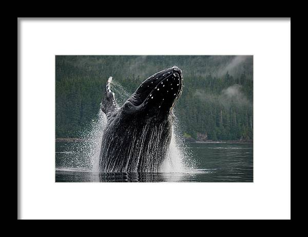 Animal Themes Framed Print featuring the photograph Breaching Humpback Whale, Alaska by Paul Souders
