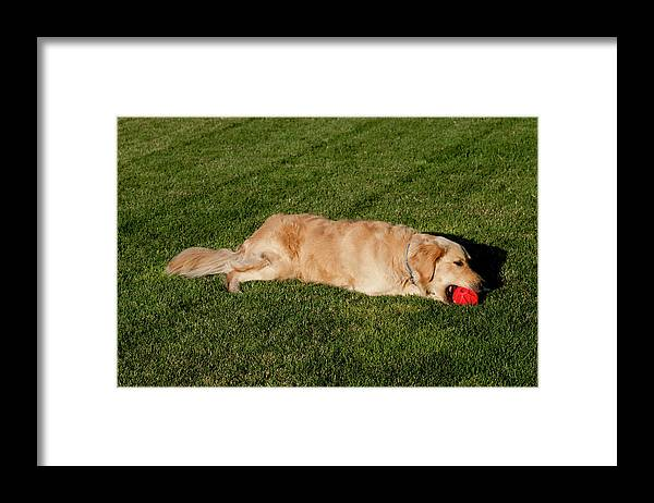 Ball Framed Print featuring the photograph Golden Retriever by William Mullins