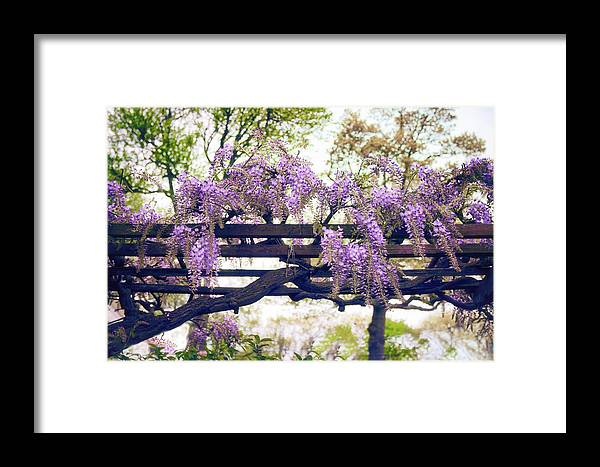 Wisteria Framed Print featuring the photograph Wisteria Wonder by Jessica Jenney
