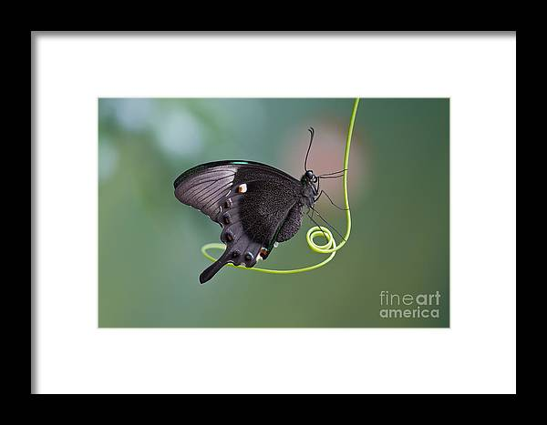 Antenna Framed Print featuring the photograph A Butterfly Is A Mainly Day-flying by Karsol