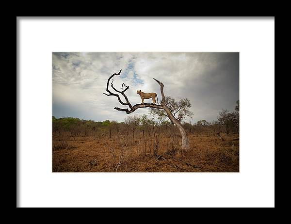 Scenics Framed Print featuring the photograph A Female Lion Standing On Bare Branch by Sean Russell