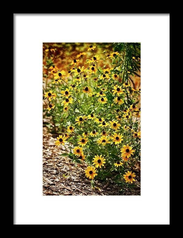Rockville Framed Print featuring the photograph A Group Of Bossoming Black-eyed Susans by Maria Mosolova